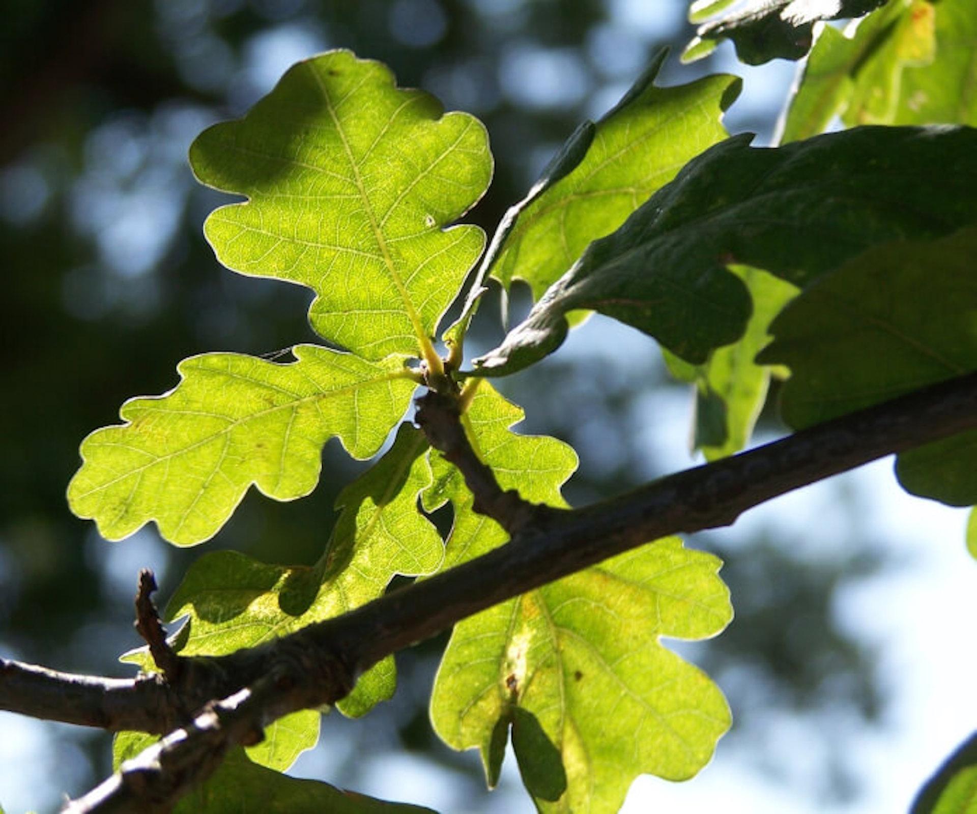1.Quercus_robur_leaves2